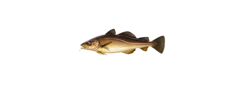 Torskfiskar